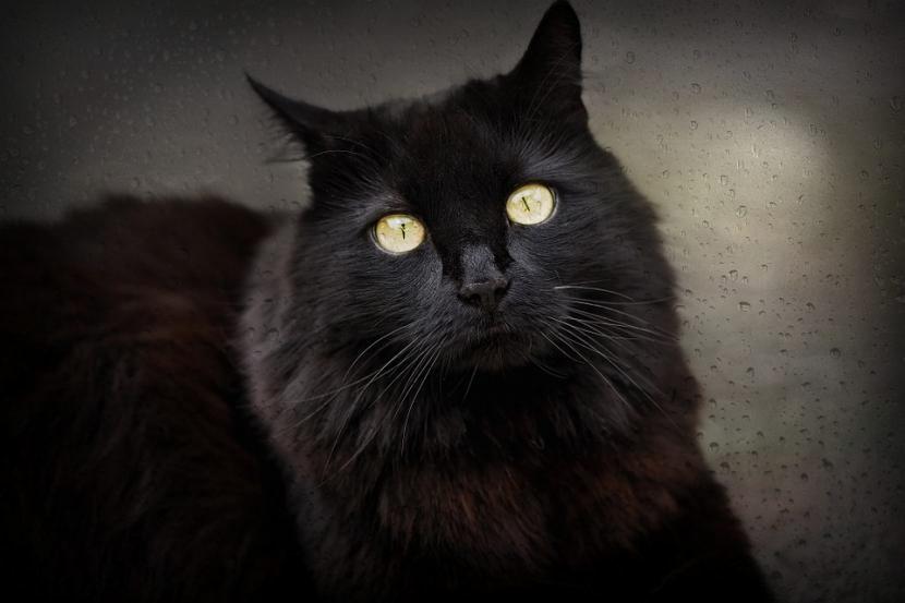 gato_negro-830x553